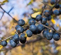 Owoce tarniny: jakie mają właściwości lecznicze?