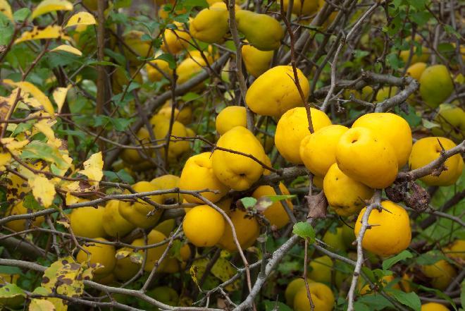 Pigwowiec: co to za owoc? Czym różni się od pigwy zwyczajnej?